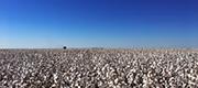 綿花輸入・買付について