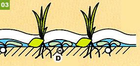 3葉が少し出たら落水。 D:水性雑草の本葉は布マルチシートを突き抜けられずに押しつぶされます